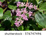 Small photo of pink American elder flower