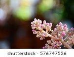 Small photo of pink American elder flower