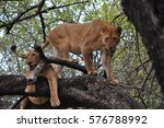 Two Lionesses In A Tree In Lak...