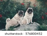 two pug in the bushes | Shutterstock . vector #576800452