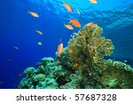 lyretail anthias on a coral... | Shutterstock . vector #57687328
