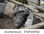 Pig Sleeping In A Barn With Pigs