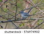 blue gray gnatcatcher  | Shutterstock . vector #576974902