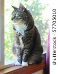 Stock photo an indoor maine coon kitty cat sitting on the window cell yearning to be outside 57705010