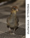 Small photo of A small, downy chick was recently born and already walking.