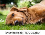Stock photo dog lieing on its side looking into the camera 57708280
