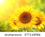 Three Bright Yellow Sunflowers...