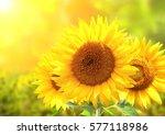 Three Bright Yellow Sunflowers...