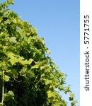 syrah shiraz vines | Shutterstock . vector #5771755