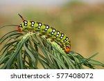 spurge hawk moth caterpillar...   Shutterstock . vector #577408072