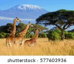 three giraffe on kilimanjaro... | Shutterstock . vector #577603936