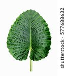 huge elephant ear leaf ... | Shutterstock . vector #577688632