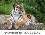 siberian tiger  panthera tigris ... | Shutterstock . vector #577731142