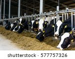 cows in a farm. dairy cows | Shutterstock . vector #577757326