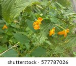 Impatiens Capensis  Spotted...
