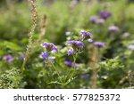 tiny purple flower in the garden | Shutterstock . vector #577825372