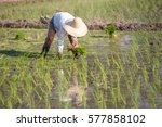 farmer planting rice sprout in... | Shutterstock . vector #577858102