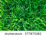background of a green grass.... | Shutterstock . vector #577875382