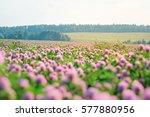 wild meadow of pink clover... | Shutterstock . vector #577880956