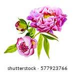 pink  violet peony watercolor ... | Shutterstock . vector #577923766