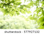 fresh green carpinus... | Shutterstock . vector #577927132