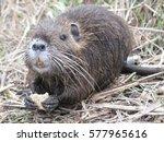 beaver   Shutterstock . vector #577965616