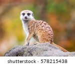 Isolated Single Meerkat...