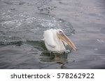 Single Pelican Floating On The...