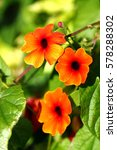 Small photo of Loach branch of thunbergia alata alias Black eyed Susan. Selected focus.