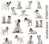Collection Parson Russell Terrier Puppies - Fine Art prints