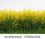 a field of bright yellow... | Shutterstock . vector #578361436