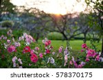hollyhock flowers under the... | Shutterstock . vector #578370175