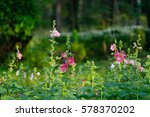 Small photo of Beautiful Hollyhocks under the sunligth, Alcea, Flowerbed