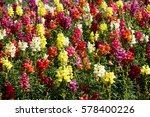 Colorful Snapdragon  Flowers...