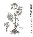 valerian. valeriana officinalis.... | Shutterstock .eps vector #578485786