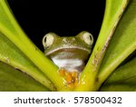Small photo of Tree frog (Agalychnis hulli)