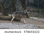 standing brown and grey wolf. | Shutterstock . vector #578653222