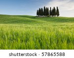 Group Of Cypresses  Tuscany ...