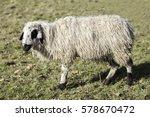 sheep  ovis aries  from... | Shutterstock . vector #578670472