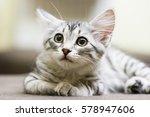 puppy cat of siberian breed ... | Shutterstock . vector #578947606