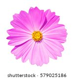 cosmos flower isolated white... | Shutterstock . vector #579025186