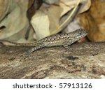 Fence Lizard (Sceloporus undulatus) - southern Illinois
