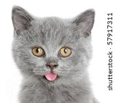Stock photo portrait of the british kitten on a white background 57917311