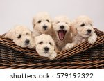 Stock photo white puppies in a basket 579192322