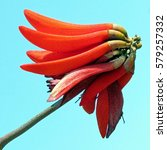 Coral Tree Flower Risolated In...
