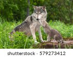 grey wolf  canis lupus ... | Shutterstock . vector #579273412