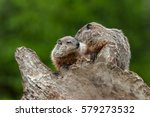 young woodchucks  marmota monax ... | Shutterstock . vector #579273532