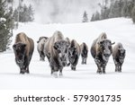 Bull Bison  Bison Bison  Herd...