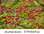Pyracantha Fruit Closeup