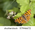 A Comma Butterfly Polygonia C ...